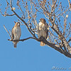 Red-tailed Hawks <br /> Columbia Bottom Conservation Area