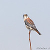 American Kestrel <br /> Columbia Bottom Conservation Area