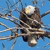 Bald Eagle <br /> Layton Road <br /> Horseshoe Lake and surrounding area