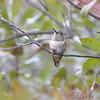 Allen's Hummingbird <br /> (Immature male) <br /> Fenton Missouri <br /> First Missouri Record