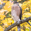 Cooper's Hawk <br /> Out the kitchen window