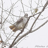 Red-tailed Hawk <br /> A long Missouri Bottom road