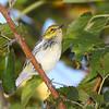 Black-throated Green Warbler <br /> Bridgeton Riverwoods Park and Trail