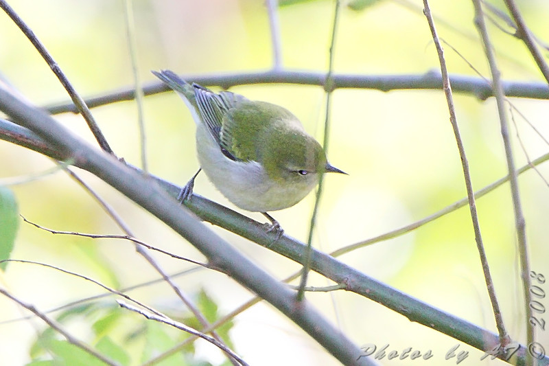 Tennessee Warbler  <br /> Bridgeton Riverwoods Park and Trail