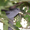 Gray Catbird <br /> Bridgeton Riverwoods Park and Trail