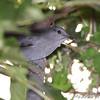 Gray Catbird <br /> Bridgeton Riverwoods Park and Trail