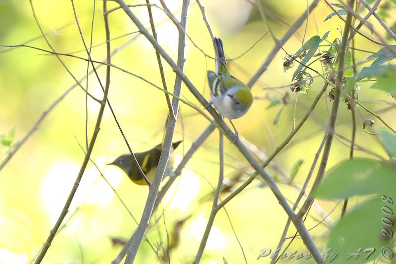 Chestnut-sided Warbler  and American Redstart <br /> Bridgeton Riverwoods Park and Trail