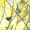 Chestnut-sided Warbler  and American Redstart <br /> Bridgeton Riverwoods Park and Trail