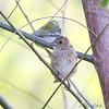 female Indigo Bunting and Northern Parula <br /> Bridgeton Riverwoods Park and Trail