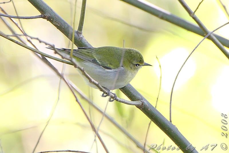 Tennessee Warbler <br /> Bridgeton Riverwoods Park and Trail