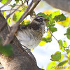 Rose-breasted Grosbeak female <br /> Bridgeton Riverwoods Park and Trail