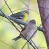 Northern Parula  and female Indigo Bunting <br /> Bridgeton Riverwoods Park and Trail