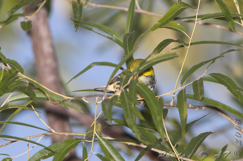 Black-throated Green Warbler <br /> Bridgeton Riverwoods Park and Trail