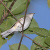 Chestnut-sided Warbler  <br /> Bridgeton Riverwoods Park and Trail