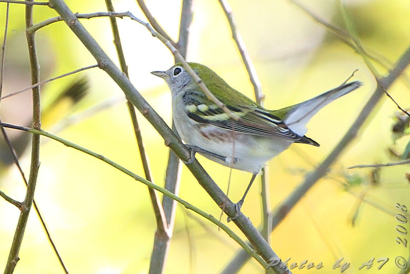 Chestnut-sided Warbler <br /> Bridgeton Riverwoods Park and Trail
