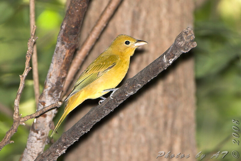Female Summer Tanager <br /> Tower Grove Park, St. Louis