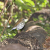 Wood Thrush <br /> Tower Grove Park, St. Louis