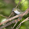 Red-eyed Vireo <br /> Tower Grove Park, St. Louis
