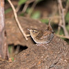 Winter Wren <br /> Tower Grove Park, St. Louis