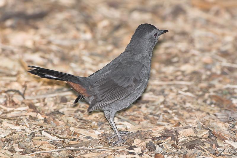 Gray Catbird <br /> Tower Grove Park, St. Louis