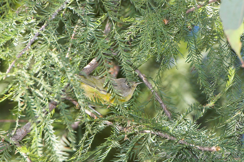 Nashville Warbler <br /> Tower Grove Park, St. Louis