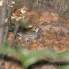 Ovenbird <br /> Tower Grove Park, St. Louis