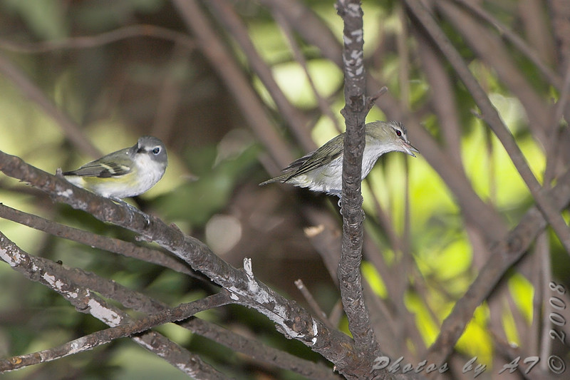 Blue-headed Vireo and Red-eyed Vireo <br /> Tower Grove Park, St. Louis