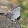 Gray Catbird <br /> Tower Grove Park, St. Louis