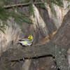 Black-throated Green Warbler <br /> Tower Grove Park, St. Louis