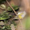 Magnolia Warbler <br /> Tower Grove Park, St. Louis