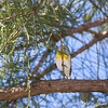 Northern Parula <br /> Tower Grove Park, St. Louis