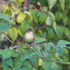 First fall female Common Yellowthroat <br /> Bridgeton Riverwoods Park and Trail