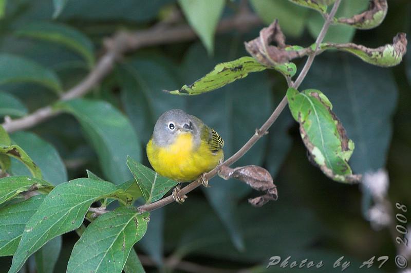 Nashville Warbler <br /> Bridgeton Riverwoods Park and Trail