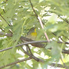 Northern Parula <br /> Bridgeton Riverwoods Park and Trail