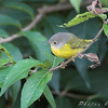Nashville Warbler <br /> Bridgeton Riverwoods Park and Trail
