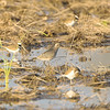 Golden Plover and Killdeer <br /> Missouri Bottom Road