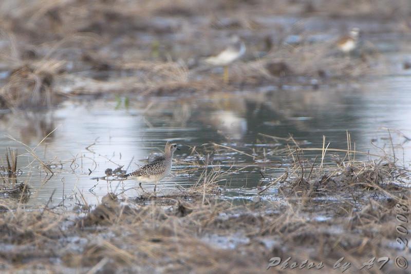 American Golden-Plover <br /> Missouri Bottom Road