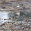 American Golden-Plover <br /> Missouri Bottom Road
