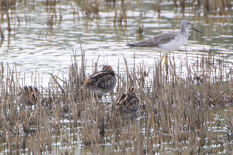 Wilson's Snipe and ?<br /> Missouri Bottom Road