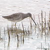 Long-billed Dowitcher <br /> Missouri Bottom Road <br /> 2008-10-13<br /> <br /> No. 315 on my Lifetime List of Birds <br /> Photographed in Missouri