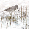 Long-billed Dowitcher <br /> Missouri Bottom Road