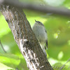 Golden-crowned Kinglet <br /> Tower Grove Park, St. Louis