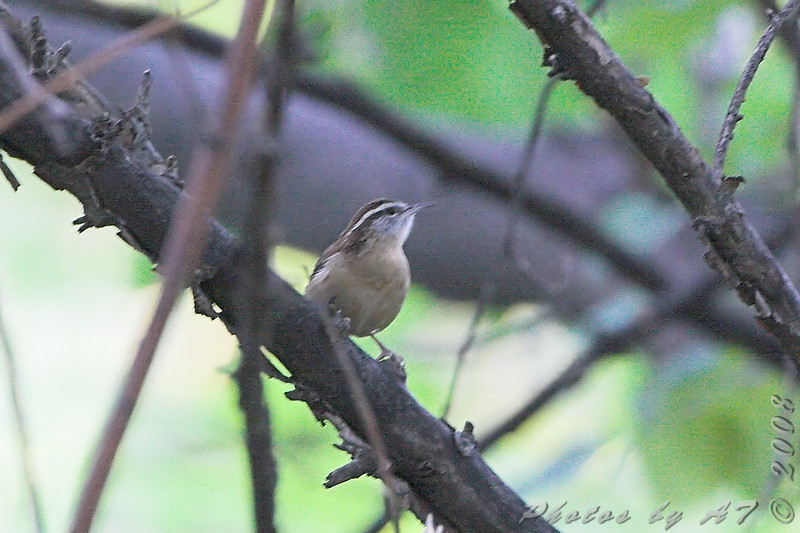 Carolina Wren <br /> Tower Grove Park, St. Louis