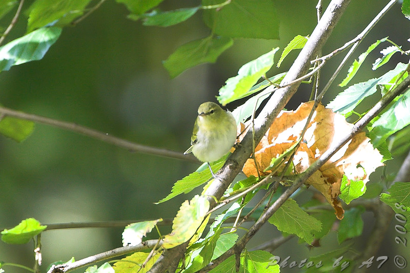 Tennessee Warbler <br /> Tower Grove Park, St. Louis