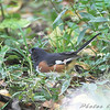 Eastern Towhee <br /> Tower Grove Park, St. Louis