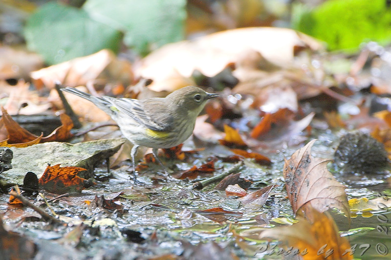 Yellow-rumped Warbler (Myrtle's)  <br /> Tower Grove Park, St. Louis