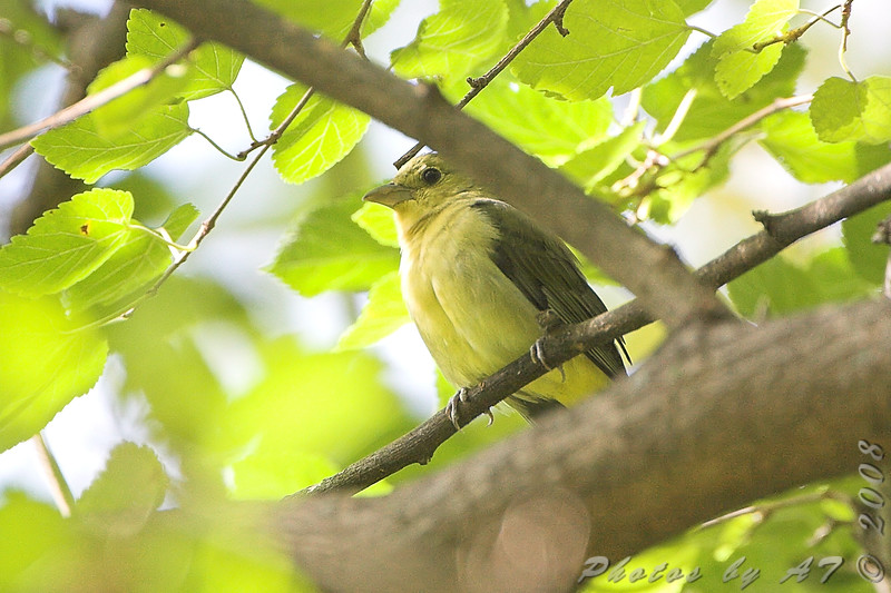 Scarlet Tanager (female) <br /> Tower Grove Park, St. Louis <br /> <br /> No. 242 on my Lifetime List of Birds <br /> Photographed in Missouri