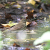 Hermit Thrush <br /> Tower Grove Park, St. Louis