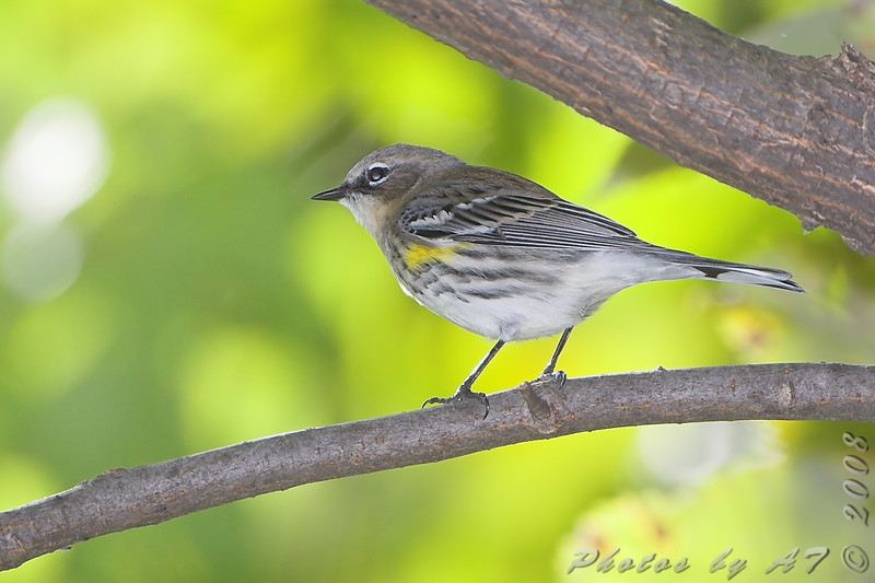 Yellow-rumped Warbler <br /> Tower Grove Park, St. Louis