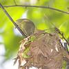 Orange-crowned Warbler <br /> Tower Grove Park, St. Louis